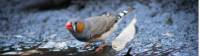 Finches and other birds gather around the desert waterholes |  <i>Graham Michael Freeman</i>